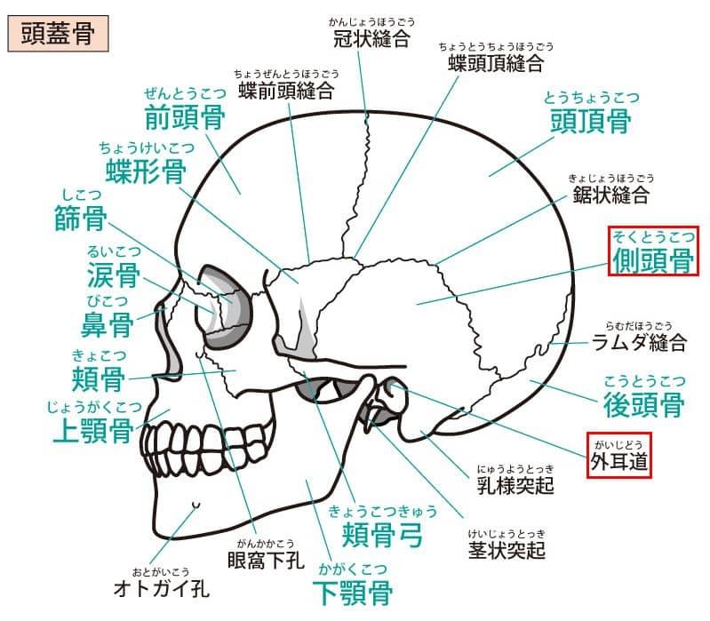 頭蓋骨横向き